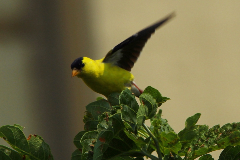 Male American goldfinch taking flight