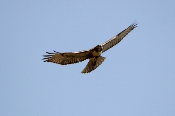 Red-tailed hawk in flight