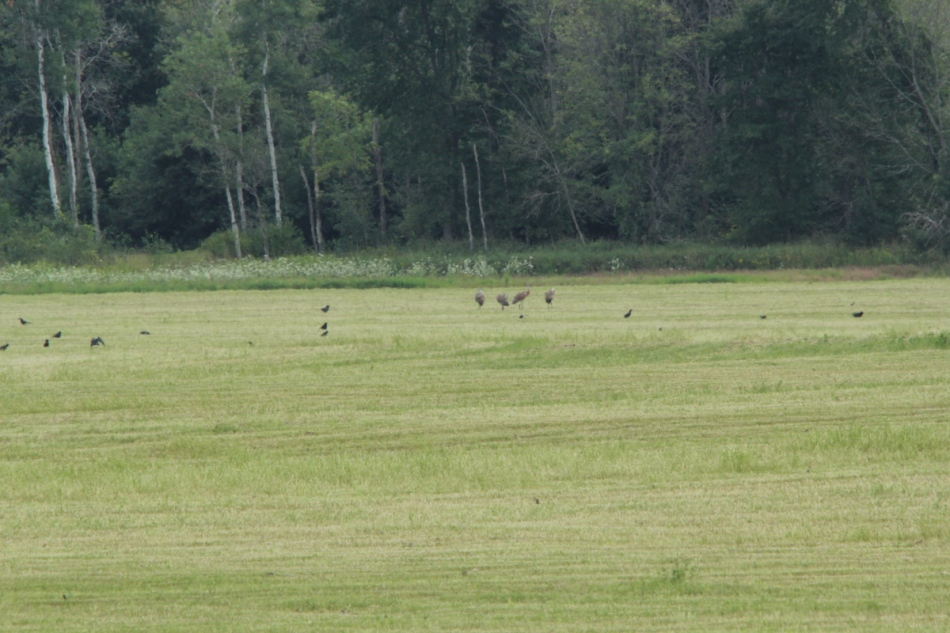 Sandhill cranes and crows