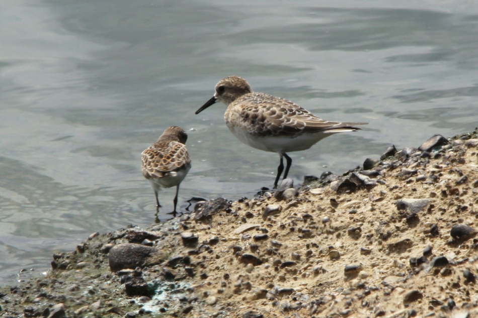 Baird's Sandpiper with a least sandpiper for comparison.