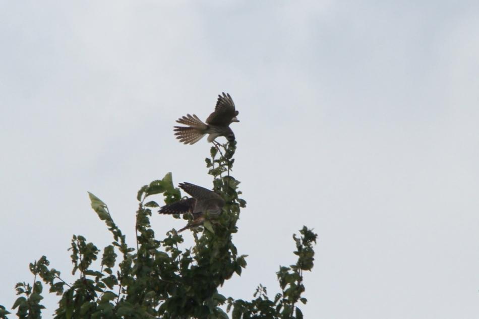 American kestrels