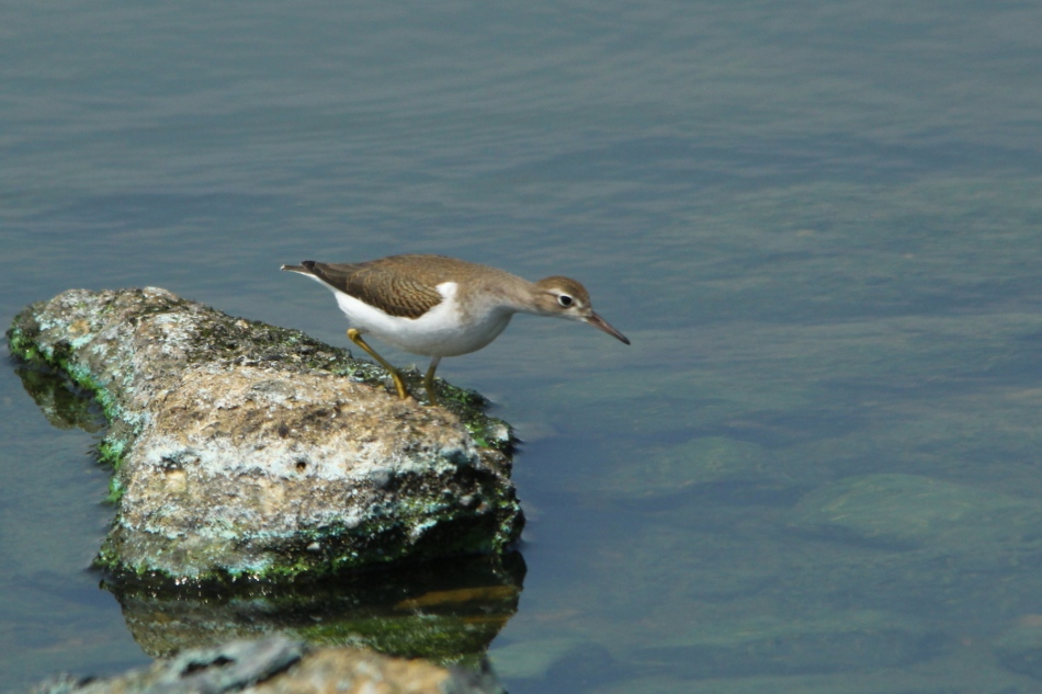 Spotted sandpiper jumping from rock to rock