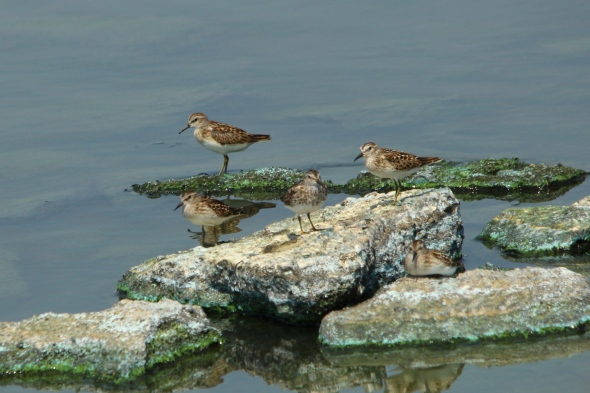 Least sandpipers