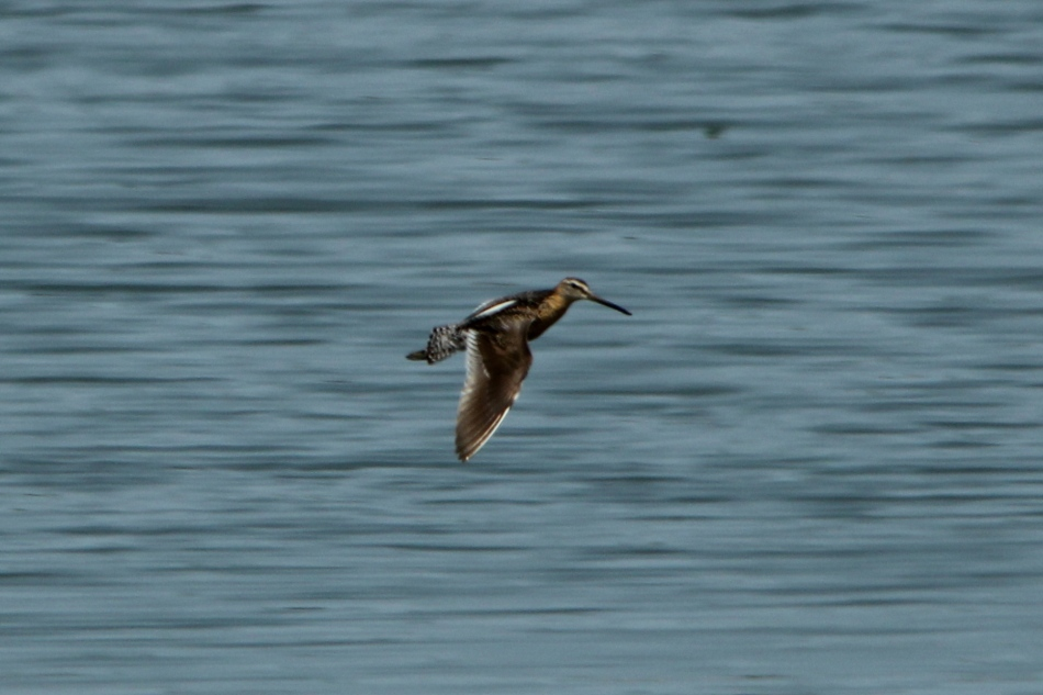 Short-billed dowitcher in flight