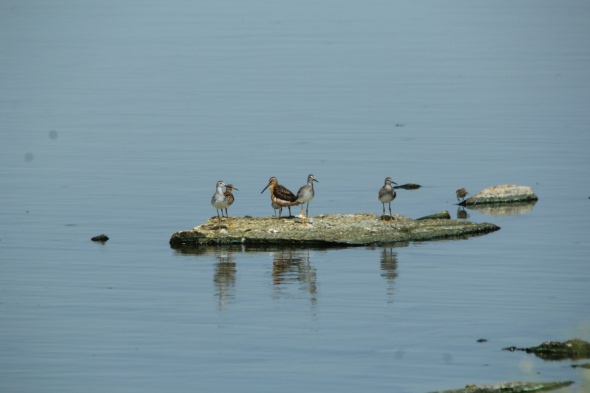 Short-billed Dowitcher and mixed shorebirds