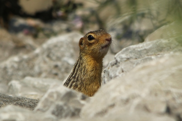 Thirteen lined ground squirrel or gopher