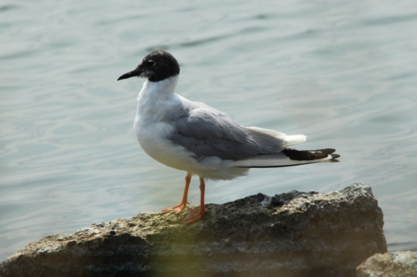 Adult Bonaparte's gull