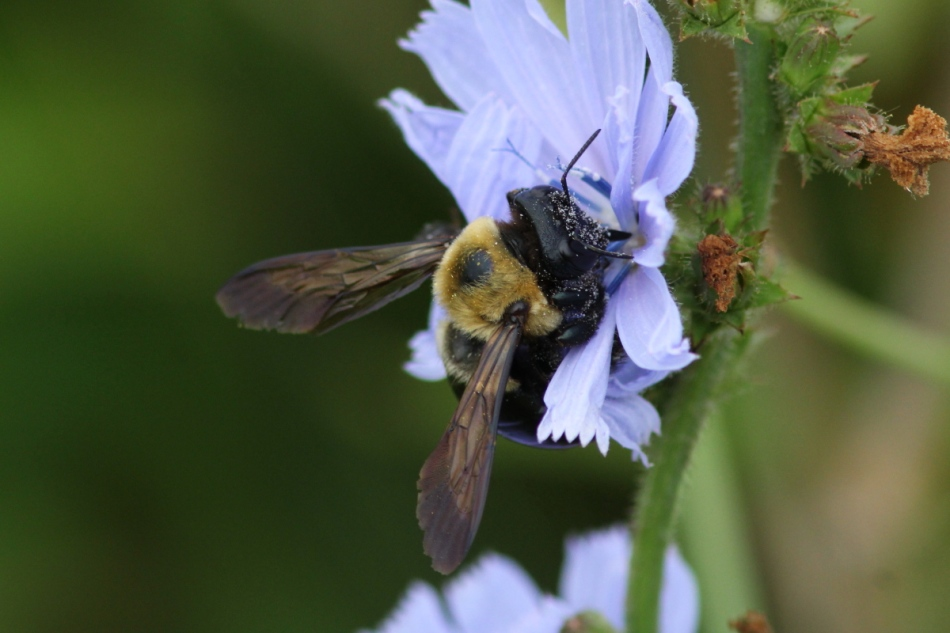 Carpenter bee on chicory