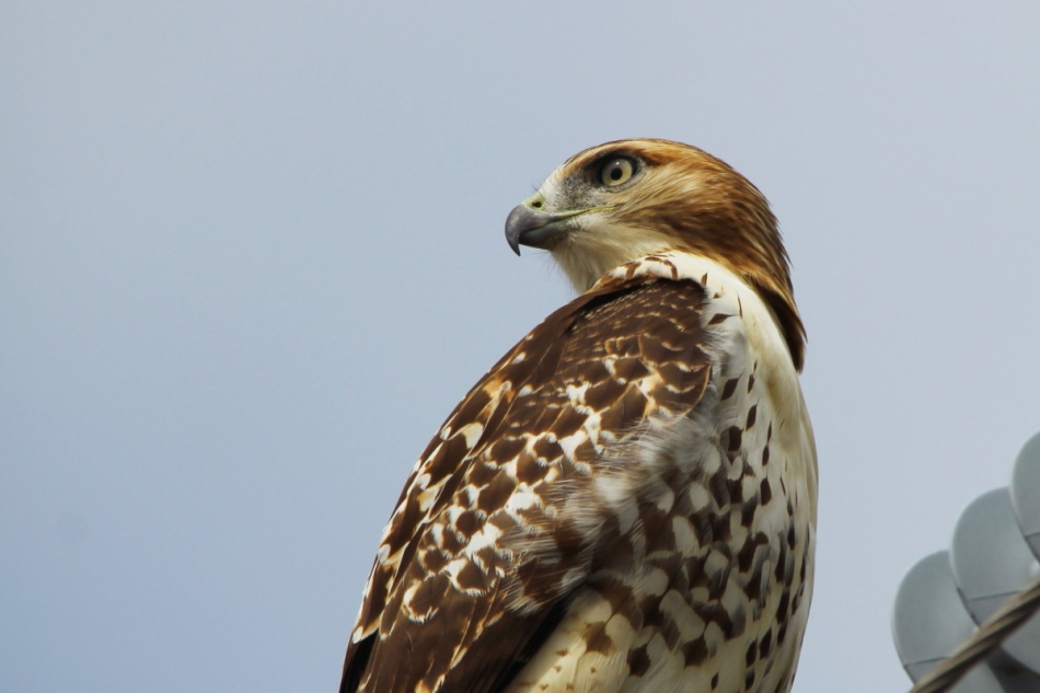 Red-tailed hawk, slight crop