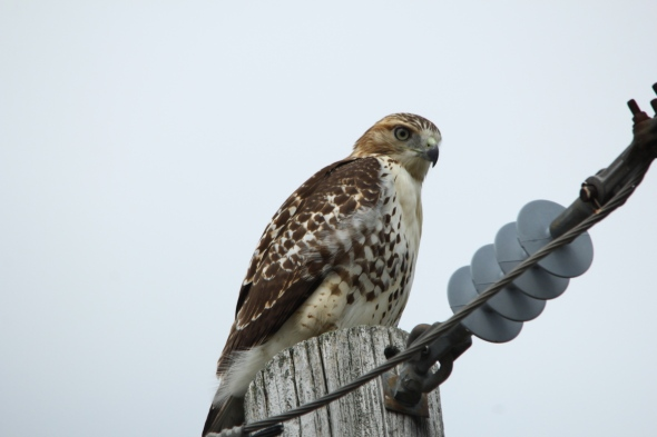Red-tailed hawk, not cropped