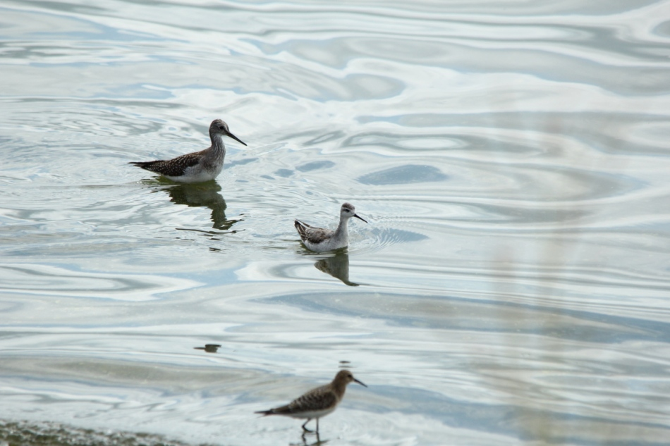 Greater yellowlegs rear, Wilson's phalarope center, Semipalmated sandpiper front