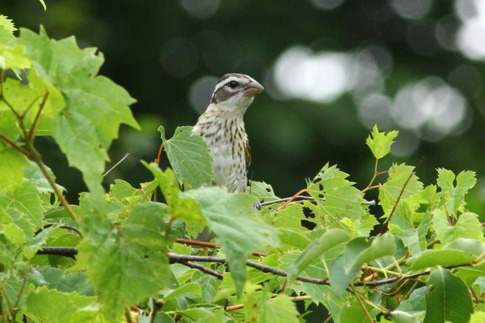 Female rose-breasted grosbeak