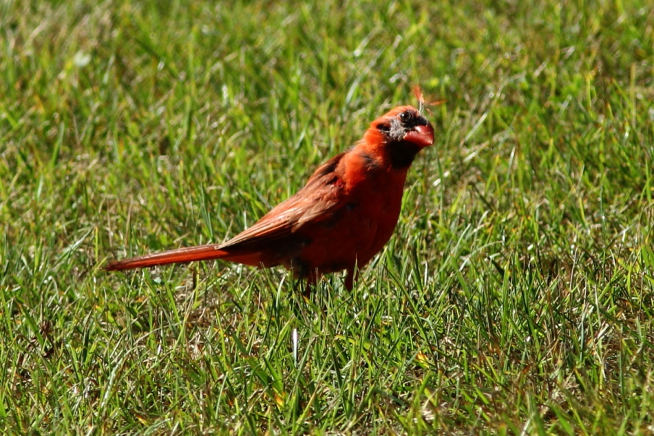 Male northern cardinal molting
