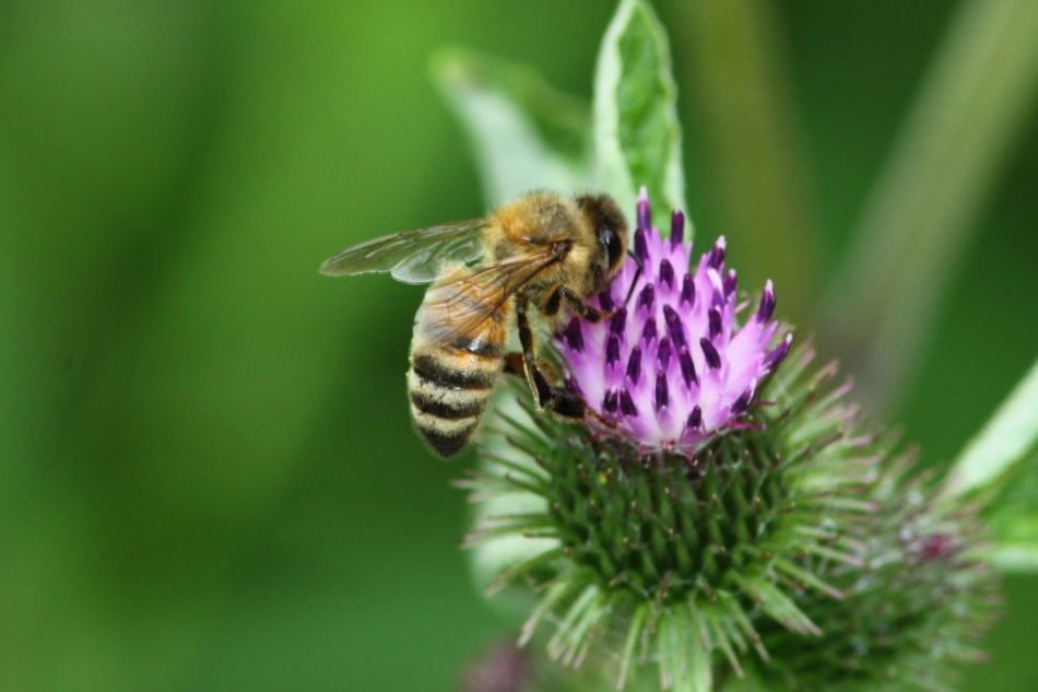 Honeybee on burdock