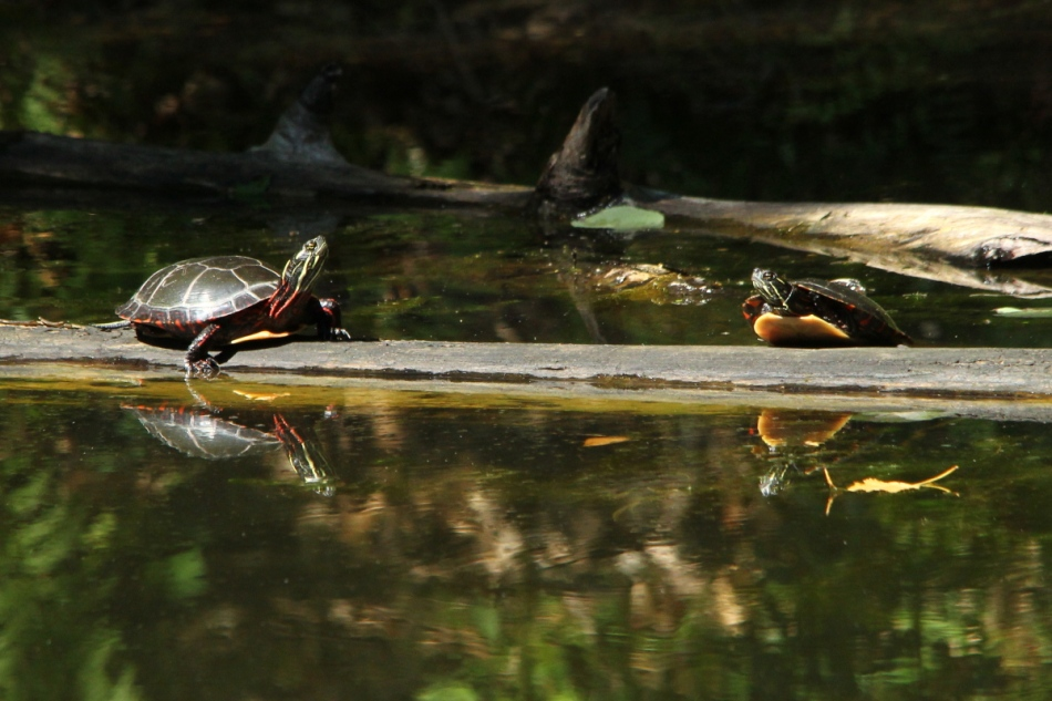 Painted turtles in a stare-down