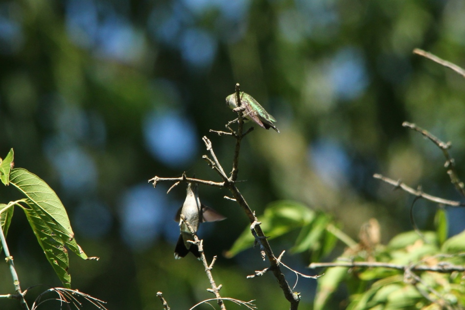 Juvenile or female ruby-throated hummingbirds