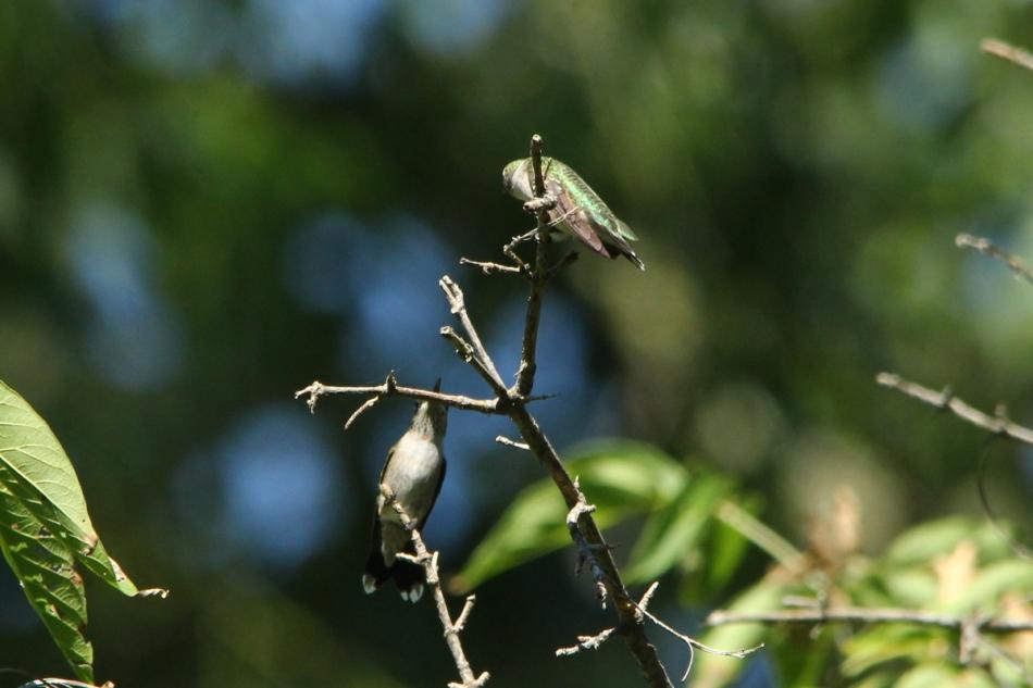 Juvenile or female ruby-throated hummingbirds