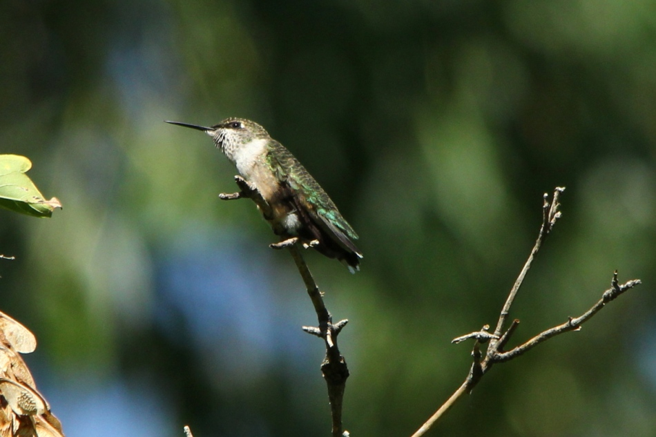 Juvenile or female ruby-throated hummingbird