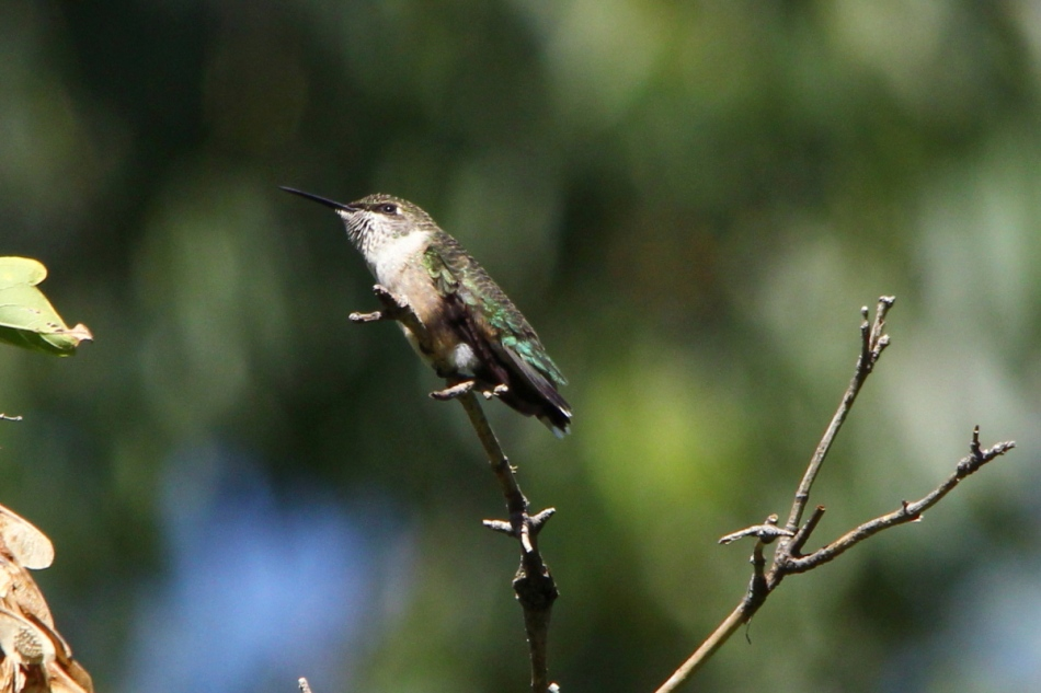 Juvenile or female ruby-throated hummingbird
