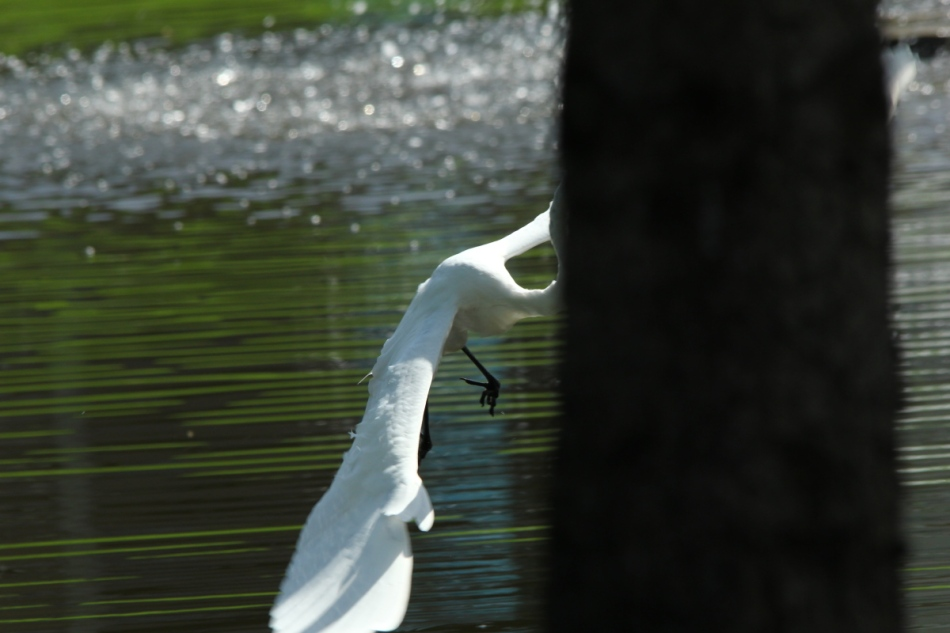 Great egret flying behind a tree
