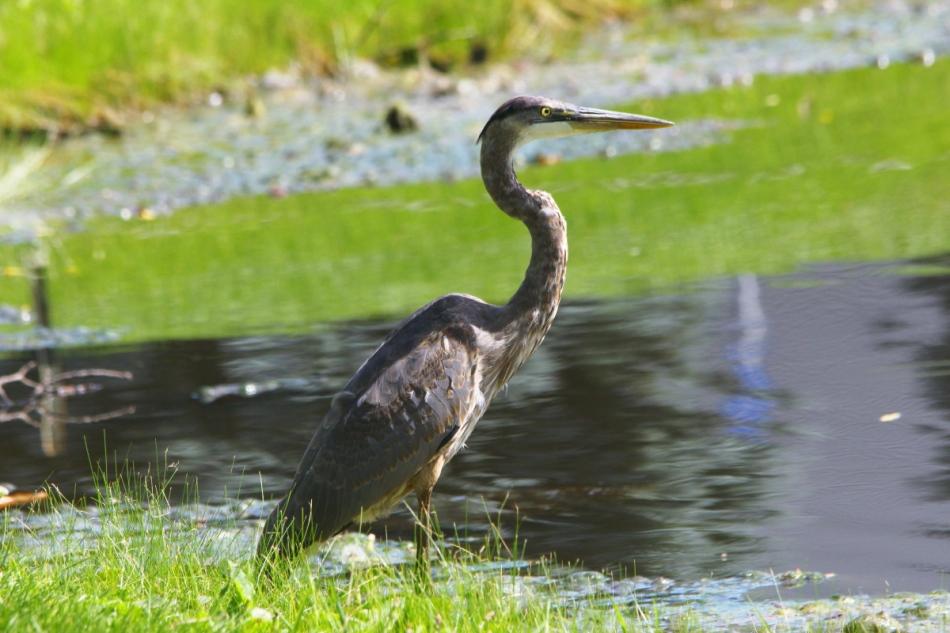 Juvenile? great blue heron
