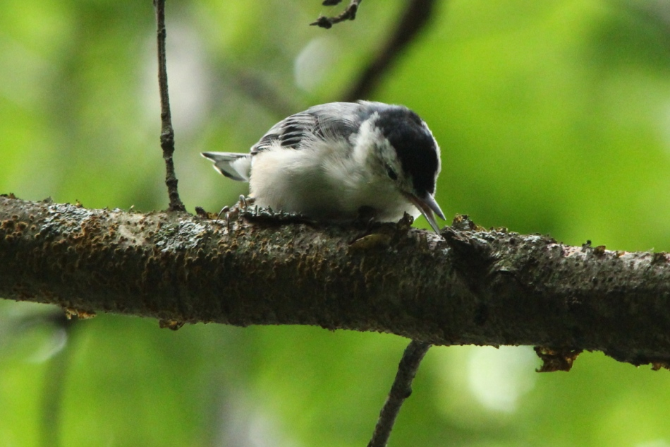 White-breasted nuthatch in action