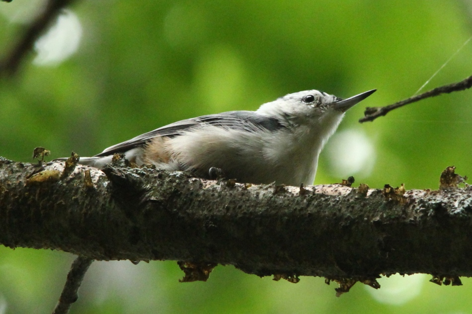 White-breasted nuthatch posing