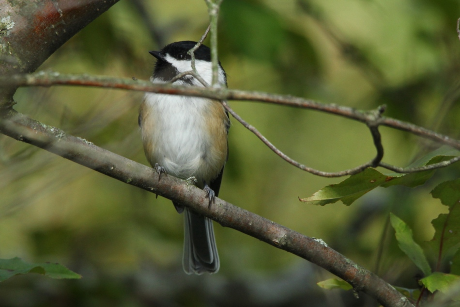 Black-capped chickadee shot with flash