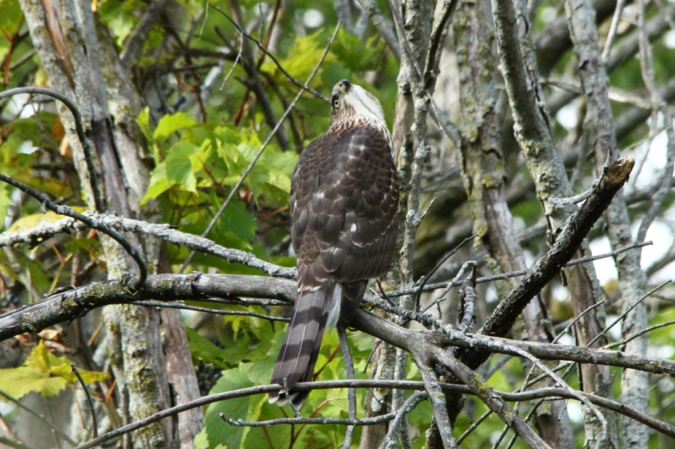 Cooper's hawk looking for supper