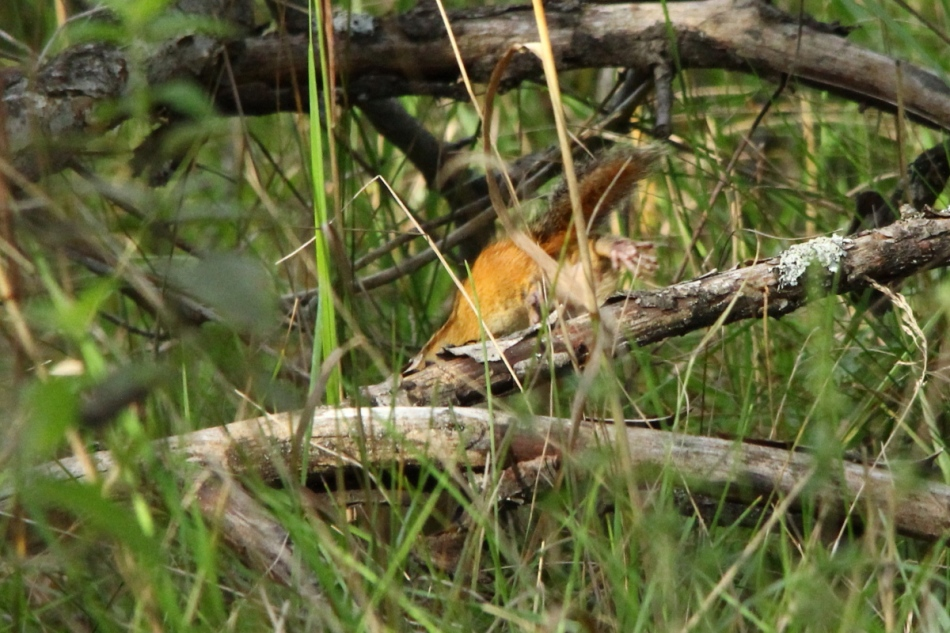 Eastern chipmunk diving for cover
