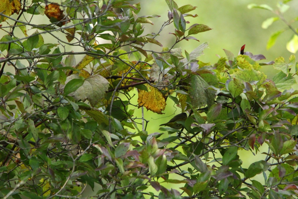 Juvenile magnolia warbler in pastel leaves
