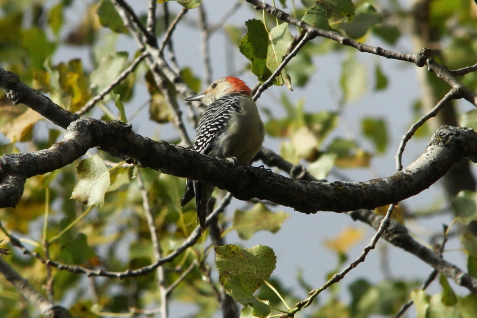 Red-bellied wwoodpecker