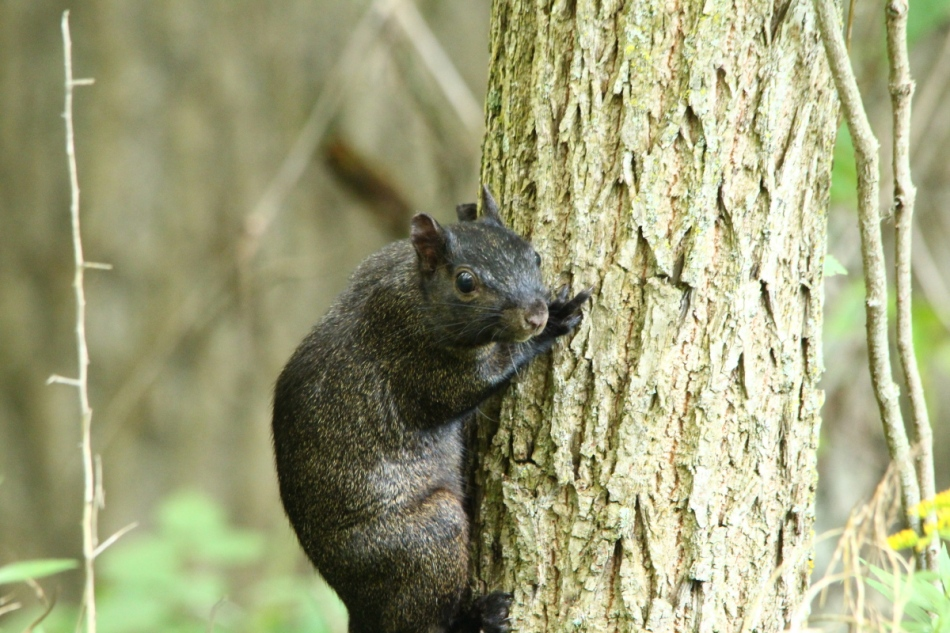 Black morph of a grey squirrel giving me the finger