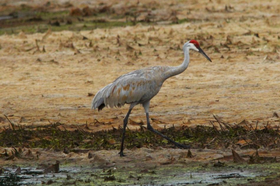 Female sandhill crane