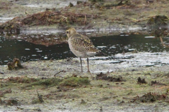 Adult American golden plover, non-breeding plumage