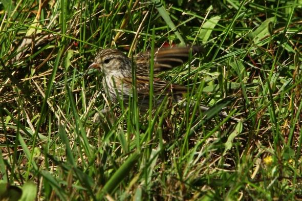 Unidentified sparrow