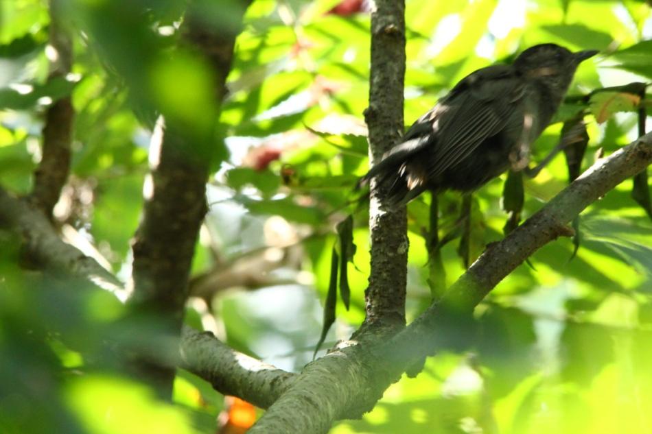 Juvenile grey catbird