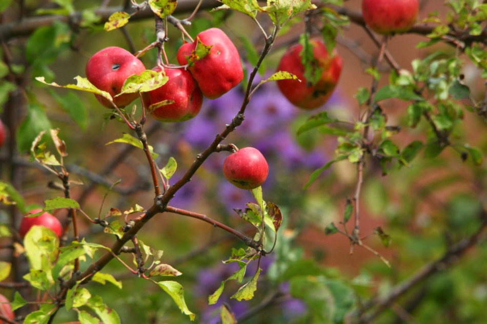 Apples and asters