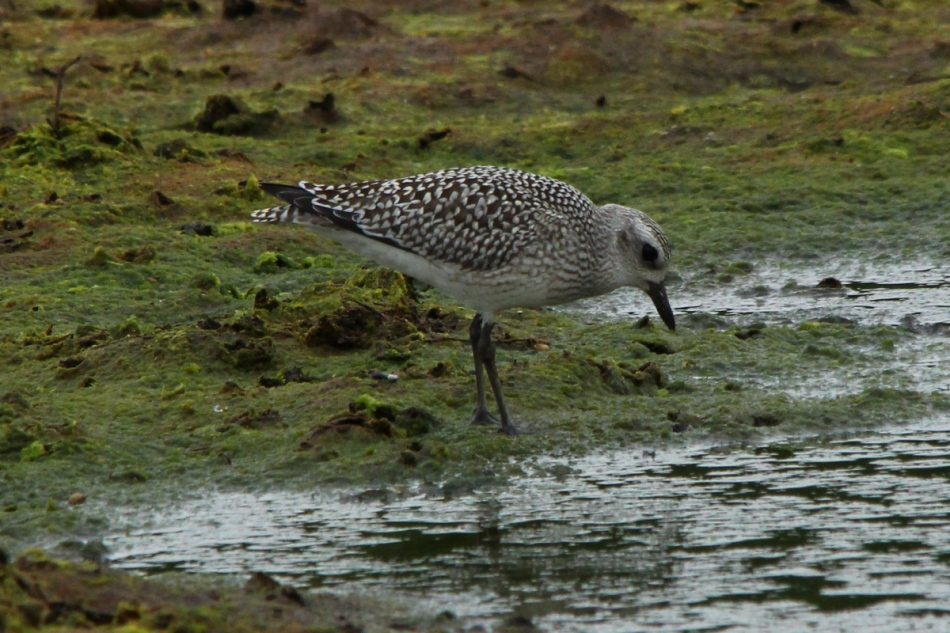 Juvenile black-bellied plover