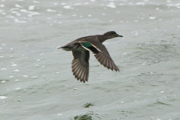 Green-winged teal in flight