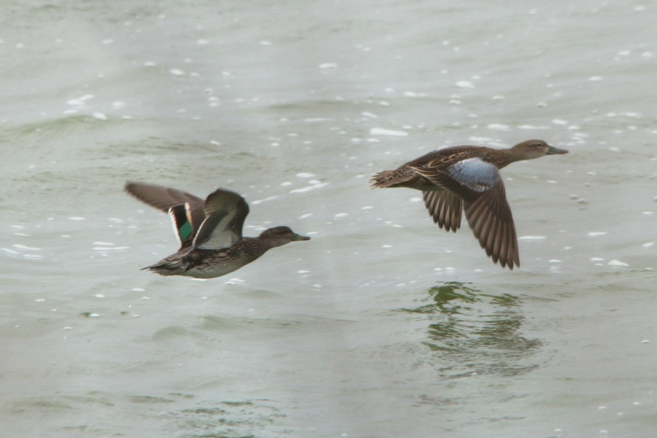 Blue-winged teal in front, green-winged teal following