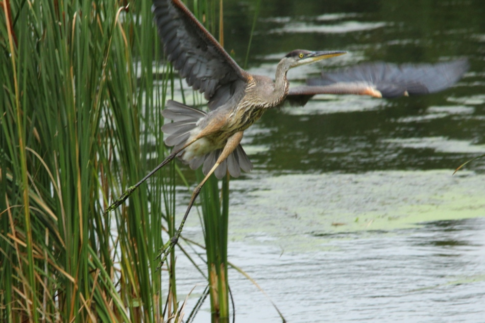 Great blue heron leaping into flight