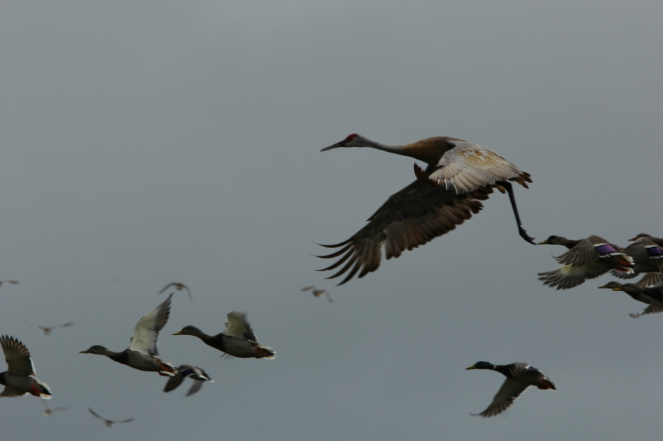 Sandhill crane and mallards