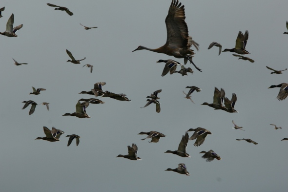Sandhill crane and mallards