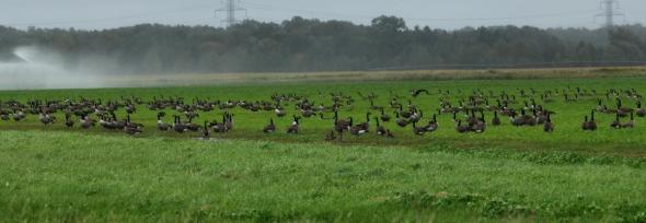 A few Canada geese