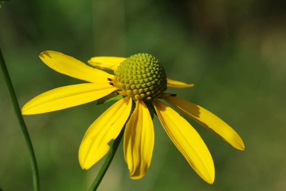 Grey-headed coneflower?