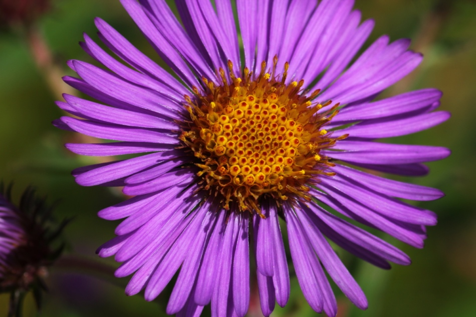 Aster?