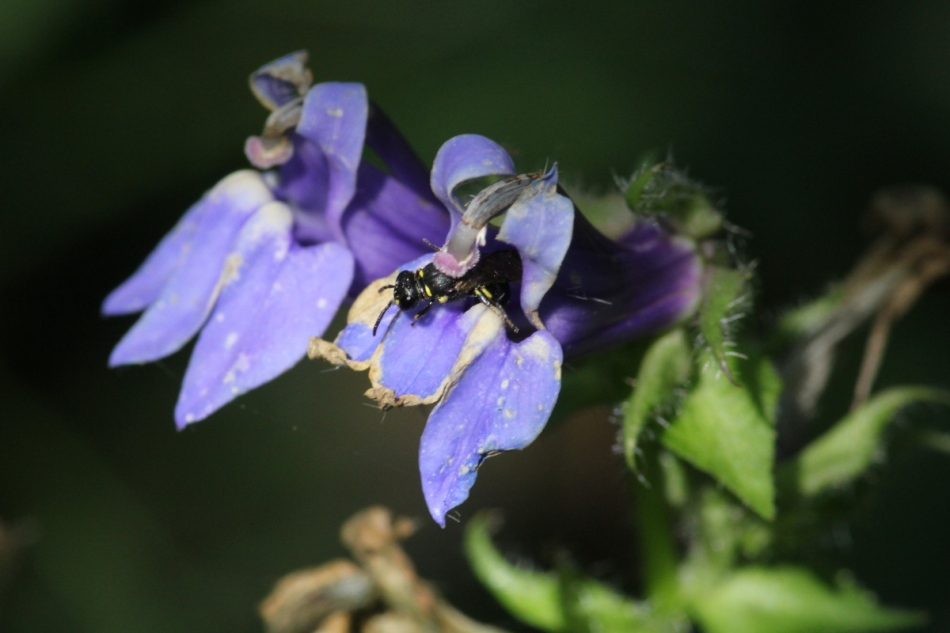 Bee coming out of a lobelia flower