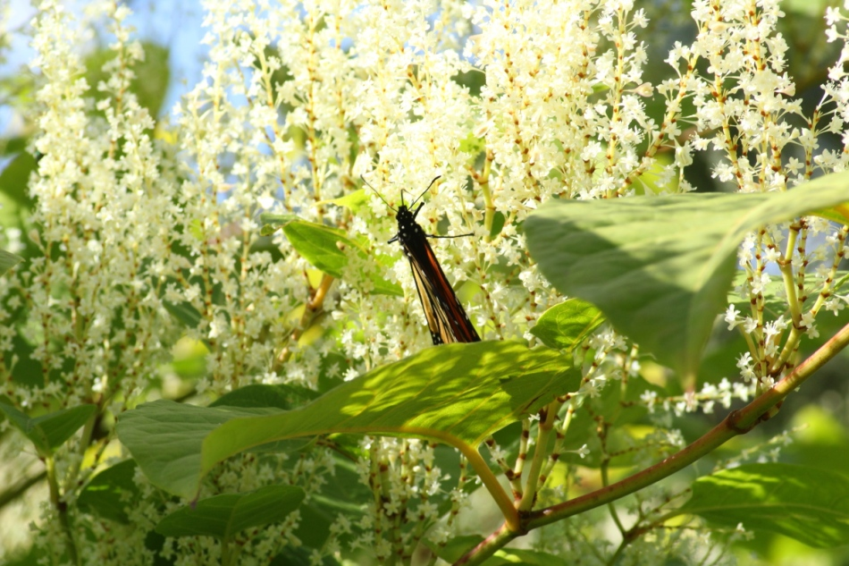 Monarch butterfly on white flowers