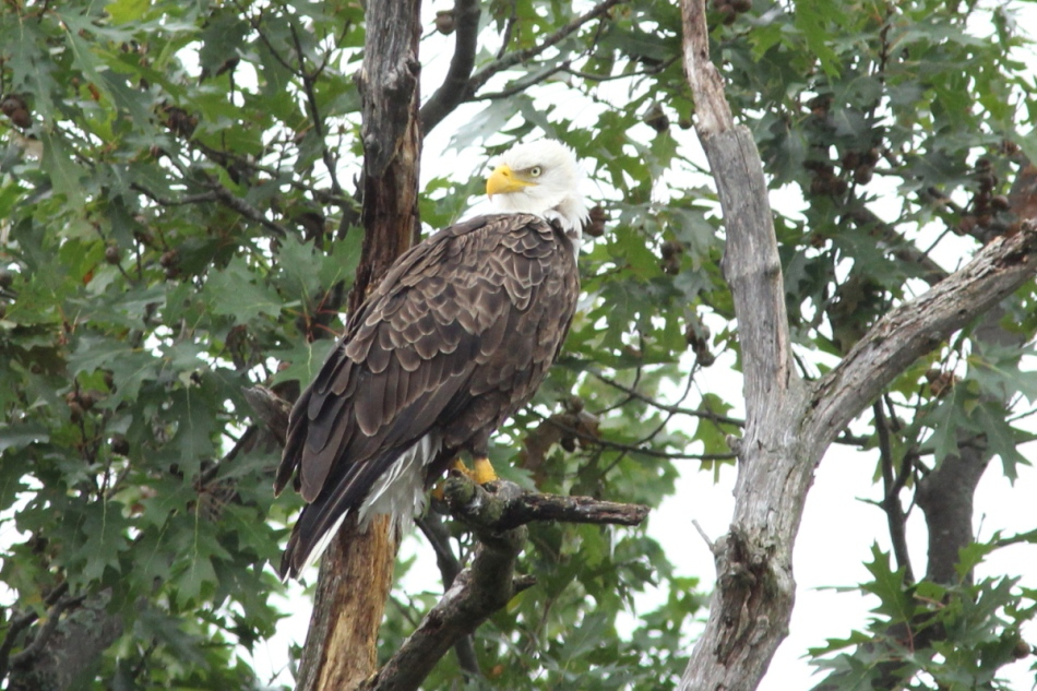 Bald eagle, the cropped version